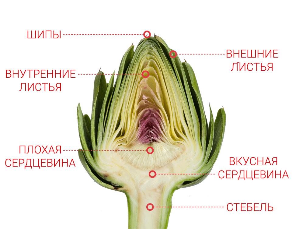 Анатомия артишока
